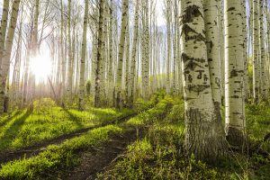 photograph aspen trees in colorado rocky mountains