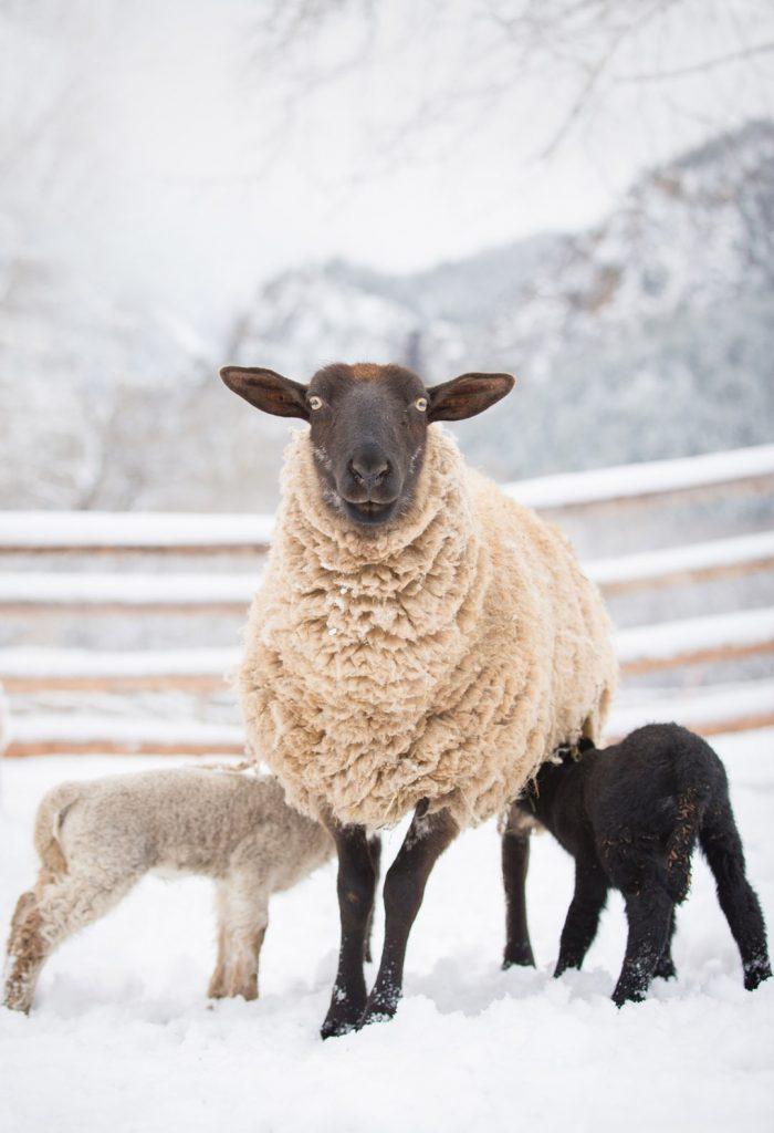 Lambs Grazing On Colorado Ranch