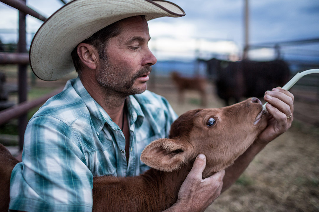 Farmer Feeds Calf On His Ranch In Rural Colorado For Organic Milk