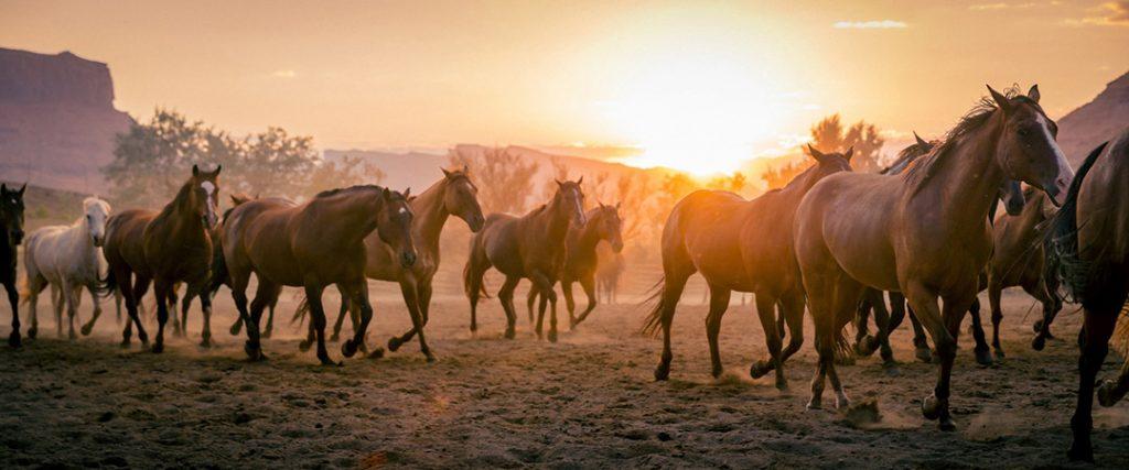Wild Horses Run Through The Sun At Sunset