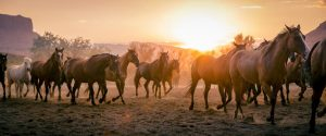Wild Horses Run Through The Sun At Sunset