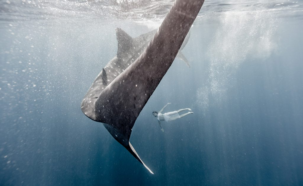 In a Beautiful, Peaceful Moment, Captured by Fine Art Photographer from Aspen, a Swimming Woman and Whale Shark Swim Together.