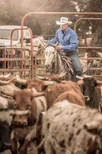 Cowboy Herds Cattle on A Ranch In California
