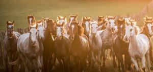 Wild Horses Run Through A Field At Sunset