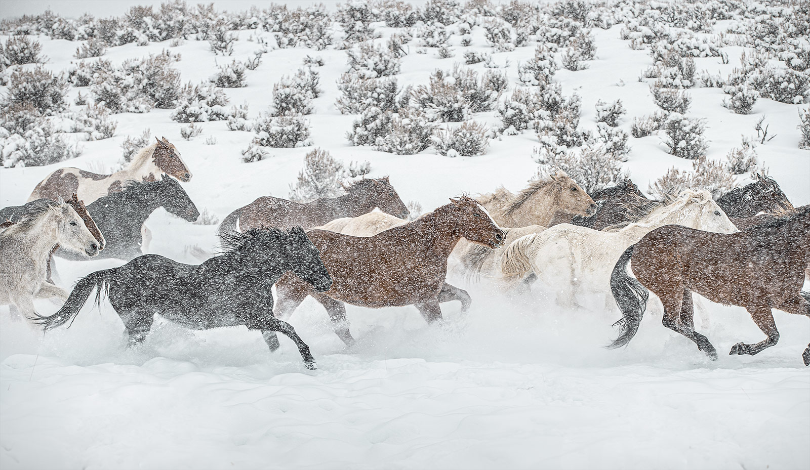 A herd of horses gallops through snow