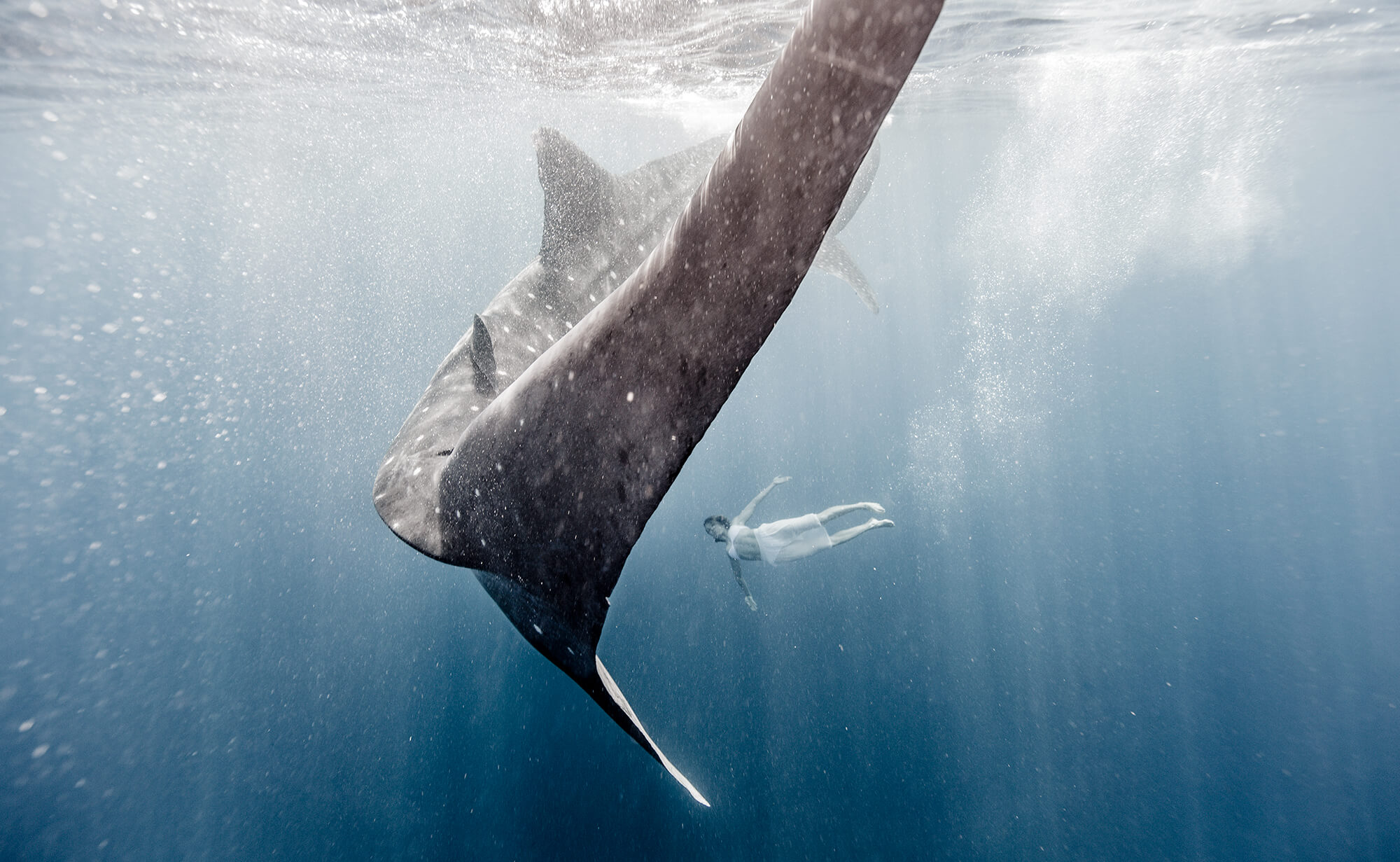 A swimmer and a whale shark underwater.
